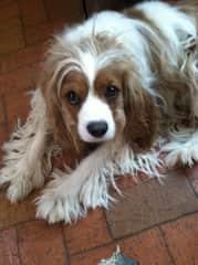 Bojangles - dog sit
