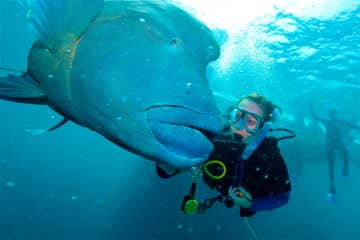 This Maori Wrasse really loved a good scratch