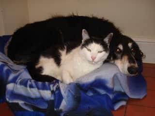 Jack (Saluki) squeezes into Tom (our farm cat's) basket