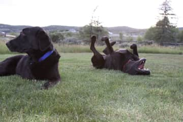 Dogs in the yard