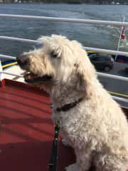 Gustave, my Goldendoodle