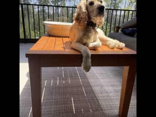 Loves to hang out in the outdoor living space! Short walks in PM only!