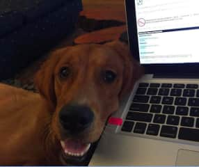 Working from home with the goofiest of retrievers, the Finn