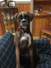 Ruby the Boxer .my pal