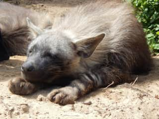 Brown hyena napping in the sunshine