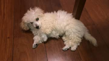 This is Luke, a tiny poodle. We took care of him for a couple of weeks through www.petanjo.com, a pet sitting website.