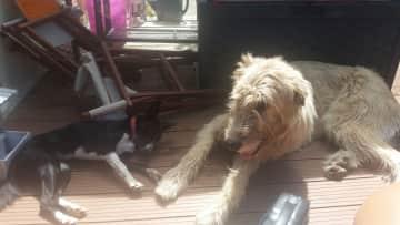 Cullen Irish wolfhound