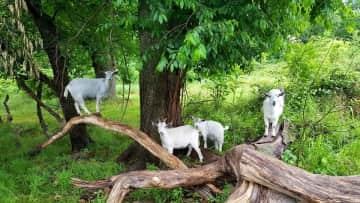 The  goats doing goat stuff.