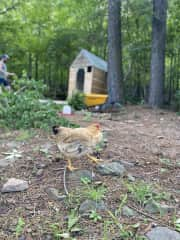 We have 14 hens, 9 of which are young pullets and not yet laying. We usually get between 3-6 eggs a day.   They like to free range during the day and do a good job eating most of the ticks and bugs!