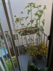 ... and also work on my little balcony garden. I planted these sunflowers from seeds! - The next photos is only 8 weeks prior!
