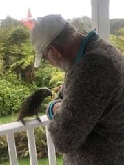 Friendly kaka, Oban, Stewart Island
