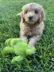 Ongoing pet sitting of Hank!  Puppies need a lot of attention for sure.  2021