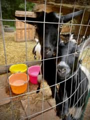 Who knew goats could be so much fun! Rawley Springs, Virginia