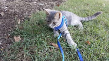 Meet Calibur, found by a neighbor when only a few weeks old. He loves going on walks, car rides, and wants to be friends with everyone and everything. He is also very uncoordinated and has no instincts, so a leash is necessary!