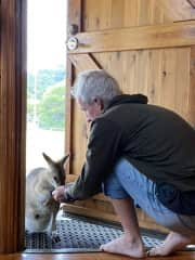 Caring for wallabies during the drought.