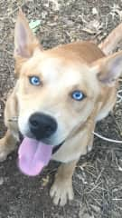 Another adopted puppy. My sons  Husky / lab cross. This cute guy is 2 years named Thor.  Eyes like the sky and gives the world's best hugs.