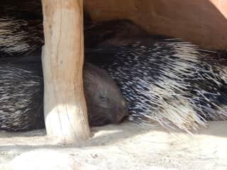porcupine care