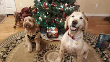 Our dog, Charlie (right) and our daughter's dog, Ollie. Christmas 2020.