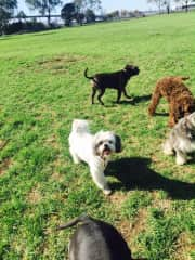 Fitzy and friends ( My poodle cross + dogs being looked after)