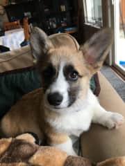 Hamilton as a puppy