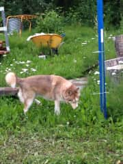 Gunner the blind sled dog who hung out my house for the weekend