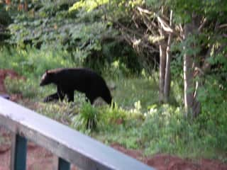one of my bear visitors
