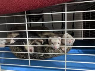 The ferrets.