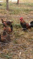 Rare breed poultry