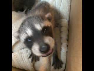 Baby raccoon on his way to wildlife rehab