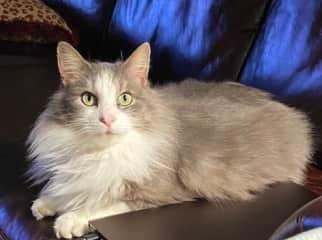 Samson is 3 years old.  A big loving indoor/outdoor cat.