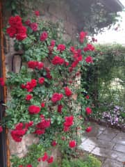 Roses - my passion