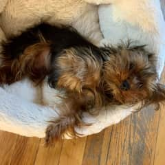 Carlito, a tiny Yorkshire terrier with a great big heart. xoxo