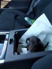 My super sweet dachshund, Lana