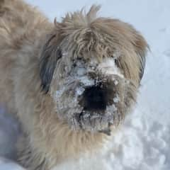 Bridie has a restricted diet. Luckily snow is on the menu.