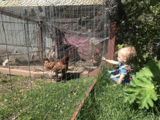 Everett feeding the chickens grass through the fence.