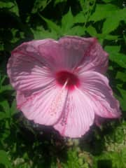 Pink hibiscus from our garden