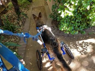 This sweet soul is Cassie. She lost the use of her back legs and gets around so happily with the use of her wheels.