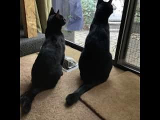 Nova and Cleo our quarantine foster kitties.