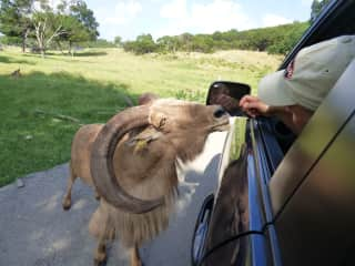 Making friends at Fossil Rim Park in Glen Rose, Texas, USA.