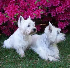 Murphy, my first foster who stayed for ten years, and Duncan, my fist Westie.
