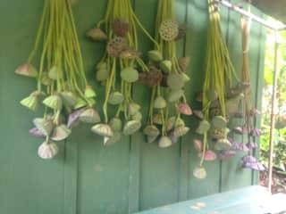 Harvesting lotus stalks