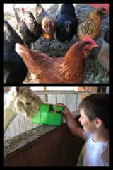 chickens and alpacas at a separate hobby farm
