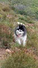 This is my girl Storm now 3.5 years old having fun whilst we walk on the mountain behind my home.