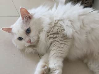 Beautiful White Cat relaxing during our housesit with her in Singapore.