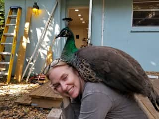 Our rescue peahen, Coco.