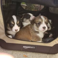 Every few years we have a litter of corgi puppies!