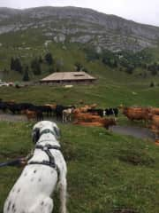 Taking in all of the cows on a hike to La Dole