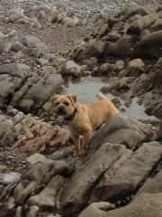 Ida, 7 year old Border Terrier