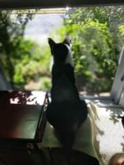 Oreo surveying the neighborhood after breakfast