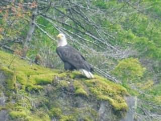 Bald eagle, Vancouver Island, Canada